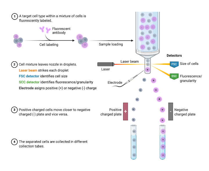 fluorescence-activated cell sorting (facs)  biorender