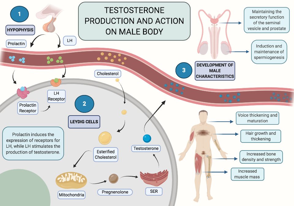 Image result for testosterone production