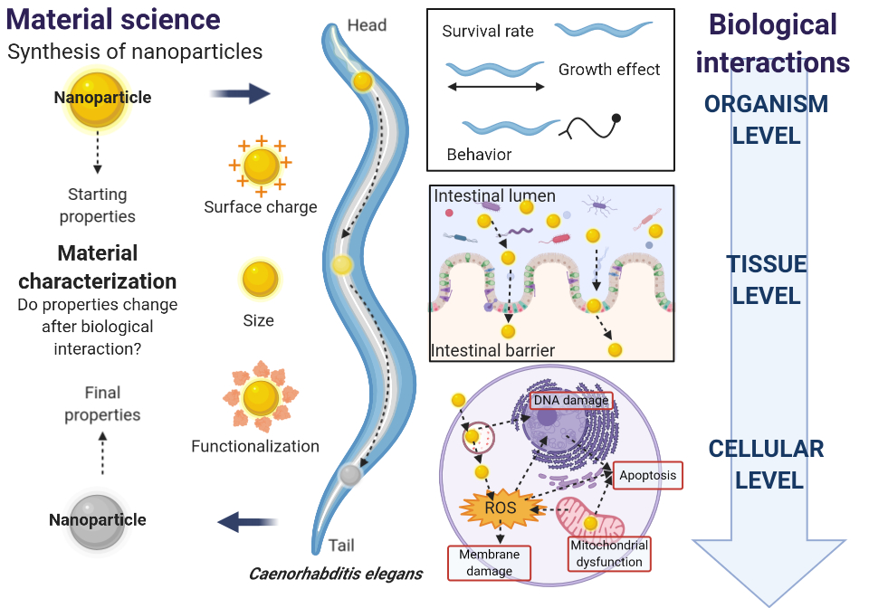 Interaction of nanoparticles with biological systems and vice versa.