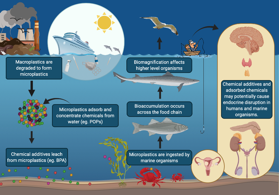 Macroplastic pollution in the ocean is degraded largely by UV exposure forming microplastics (MPs). Microplastics contain additives including the known endocrine disruptors (EDs) BPA and Phthalates. They adsorb persistent organic pollutants from the water. Marine organisms ingest MPs, these are then transferred through the food chain. Bioaccumulation and biomagnification affect higher level organisms. There is potential for the MPs and EDs to have a direct effect on humans through consumption.